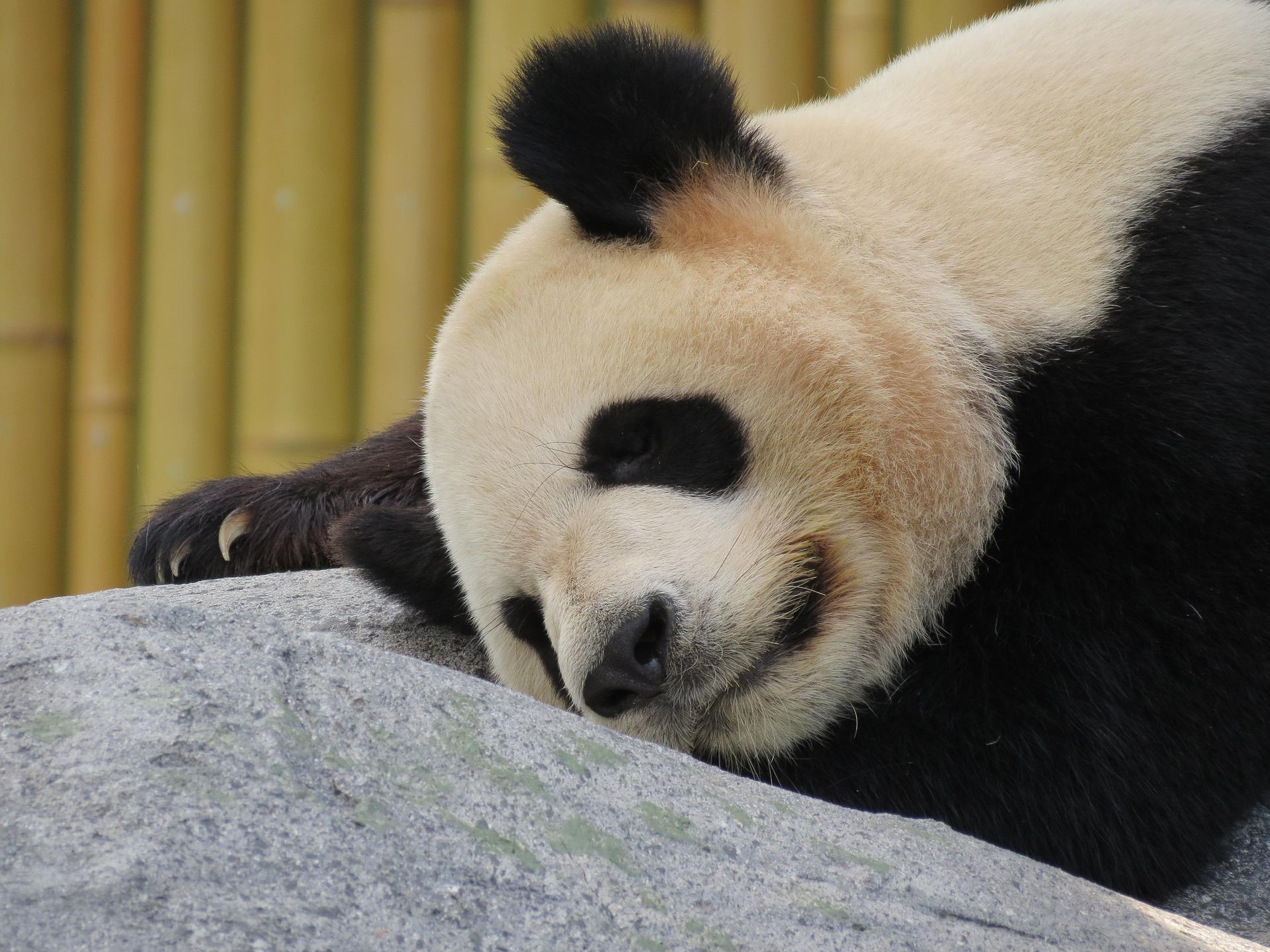 panda-1645495_1920