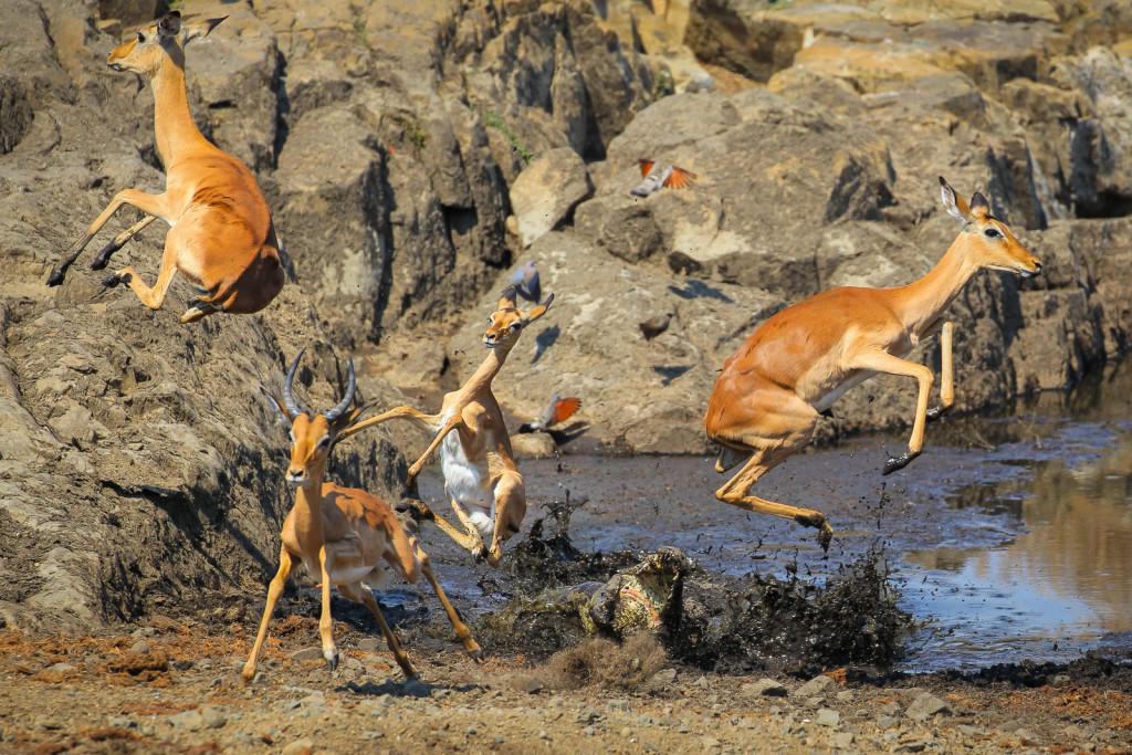 Sudafrica. L'attacco di un coccodrillo del Nilo a un gruppo di impala