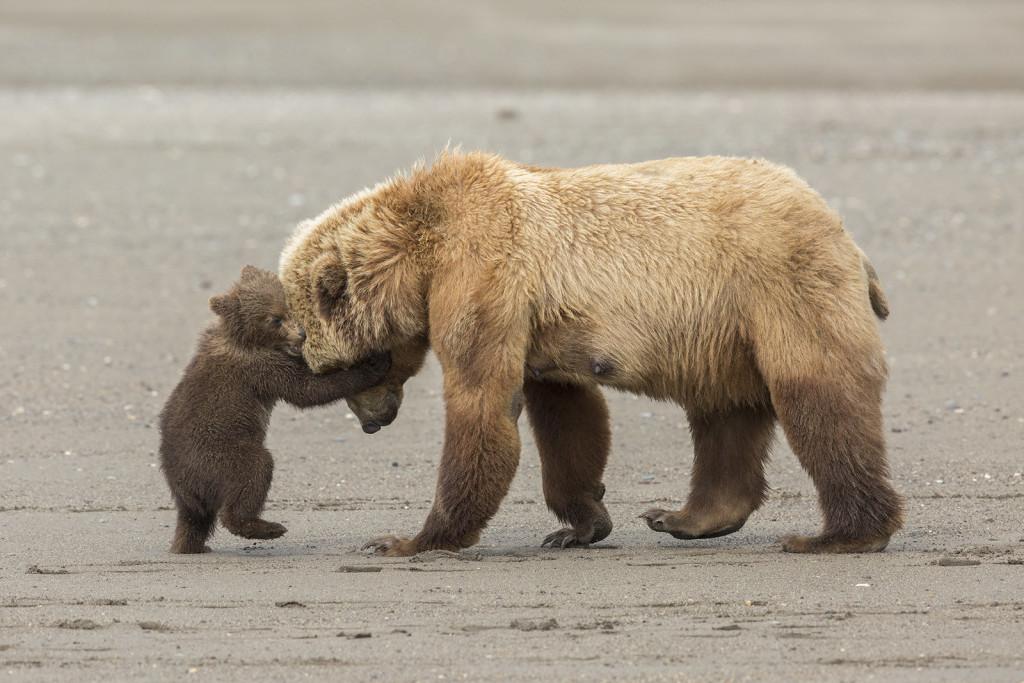 Alaska. Mamma orsa gioca con il suo cucciolo