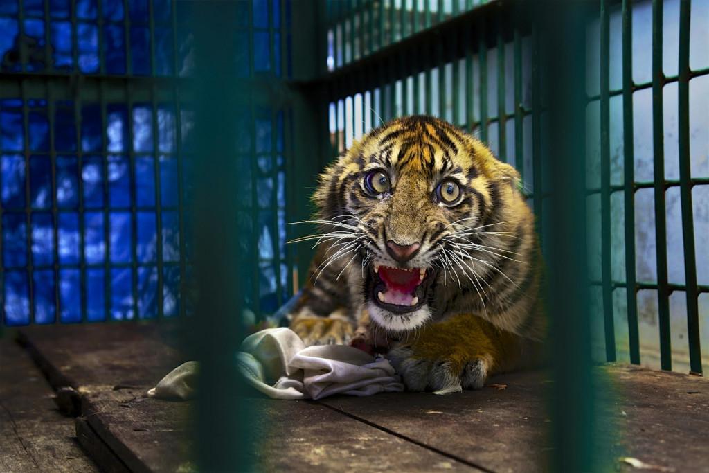 Sumatra. Cucciolo di tigre di 6 mesi soccorso dopo essere rimasto intrappolato in una tagliola. Dopo aver subito l'amputazione di un zampa posteriore, trascorrerà la vita in un uno zoo