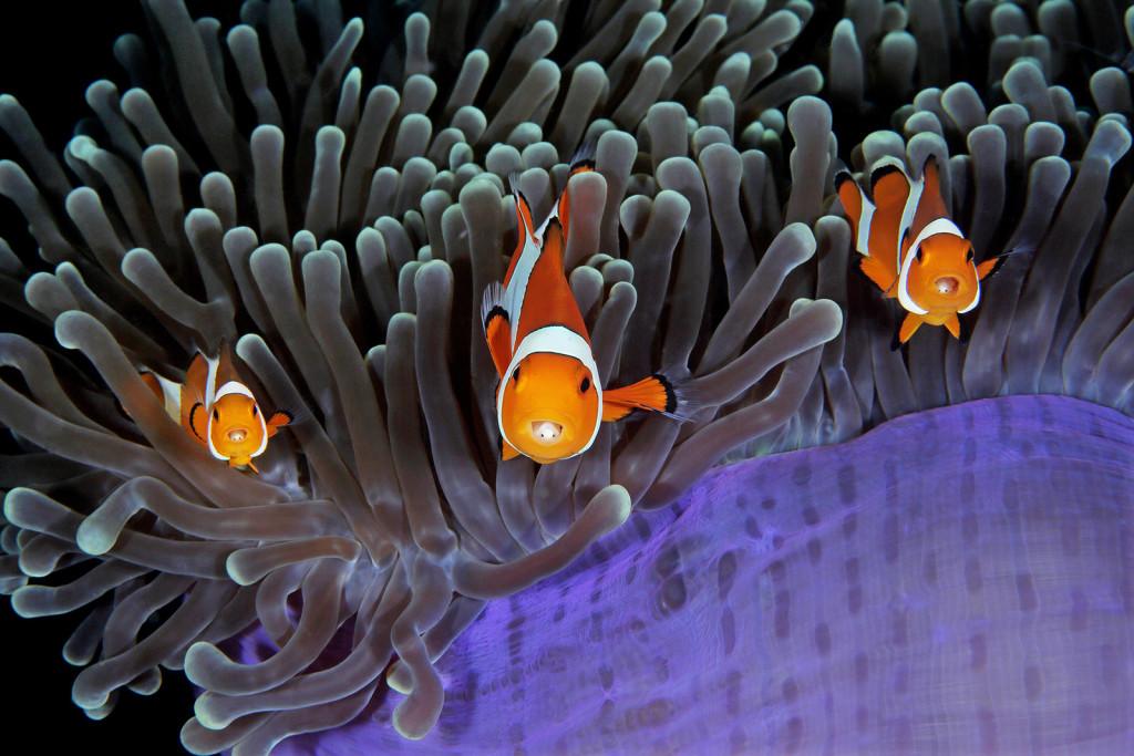 Indonesia. Pesci pagliaccio, immuni al veleno che ricopre i tentacoli dell'anemone
