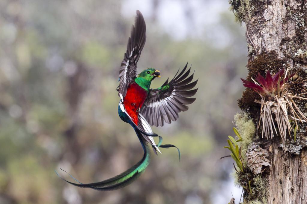 Costa Rica. Un quetzal porta cibo alla sua nidiata