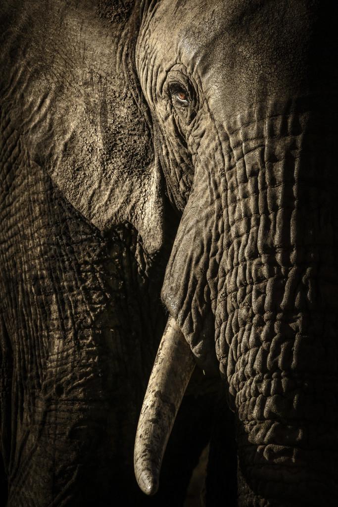 Kenya, Parco Nazionale del Maasai Mara. L matriarca di un branco di elefanti immortalata all'imbrunire