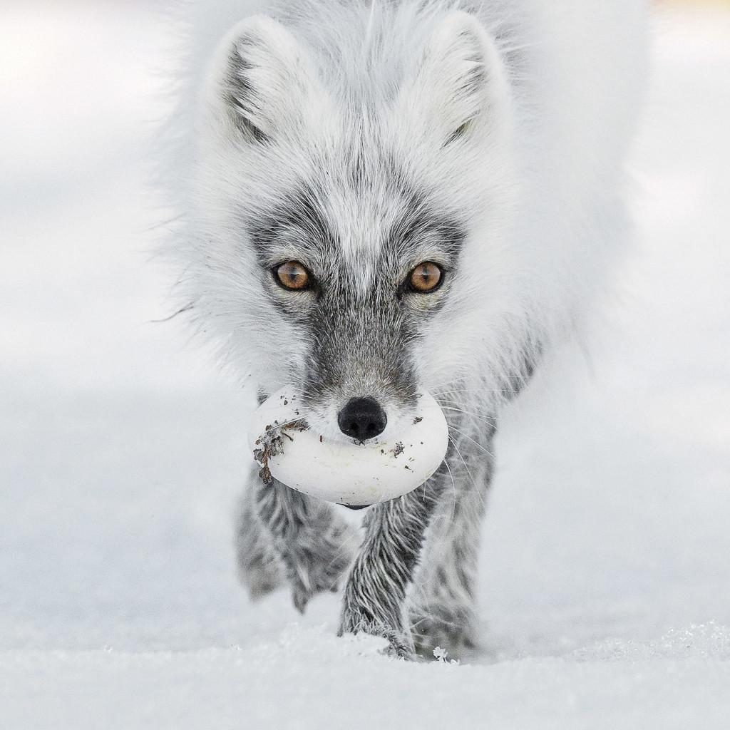 Russia. Una volpe artica ha appena rubato un uovo d'oca, lo seppellirà per mangiarlo quando il cibo scarseggerà.