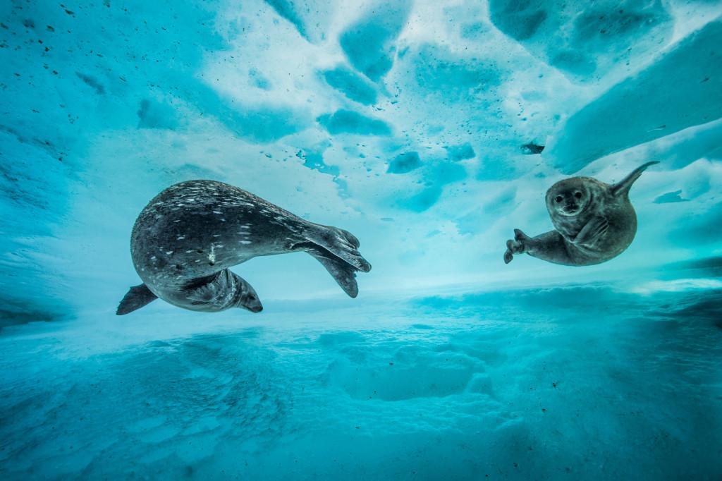 Antartide. Una foca nuota con il suo cucciolo